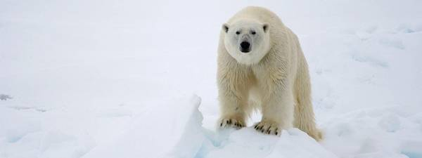 Polar bear Photo WWF