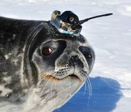 Photo of a Weddell Seal in the Ross Sea, Antarctica carrying a Valeport CTD sensor integrated into a tag built by the Sea Mammal Research Unit, St Andrews. (Photo: Daniel Costa, University of California, U.S.)