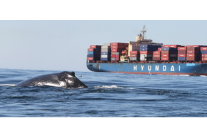 (Photo: Whale Alert ©John Calambokidis)