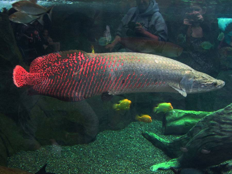 Arapaima maritime logistics professional for Big freshwater aquarium fish